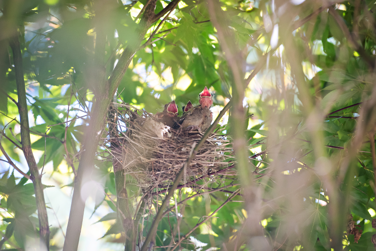 three baby cardinal birds in a nest in a tree